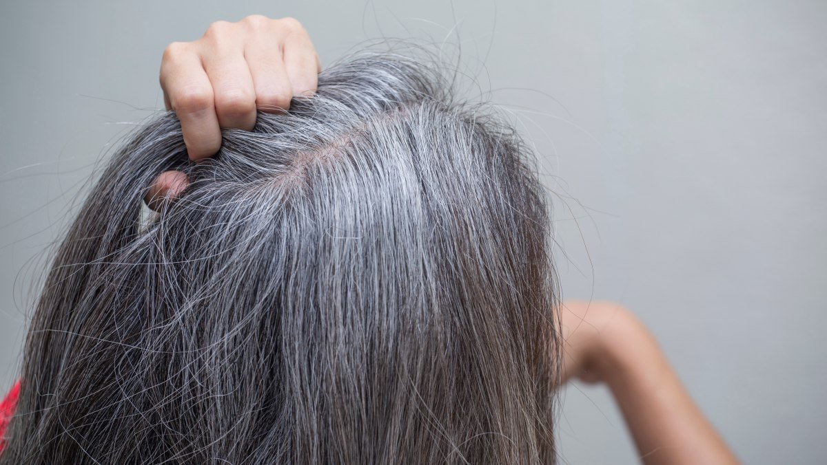 The steps in pre-softening gray hair before covering it
