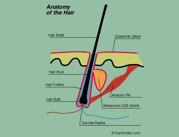 hairanatomy.jpg